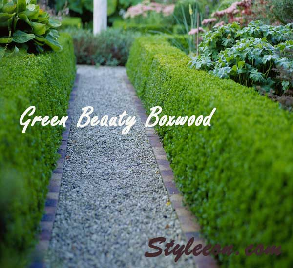 what is  Green Beauty Boxwood?