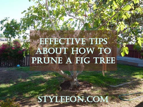 How to Prune a Fig Tree