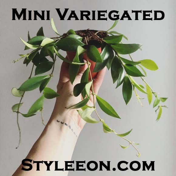Mini Variegated  - Styleeon.com