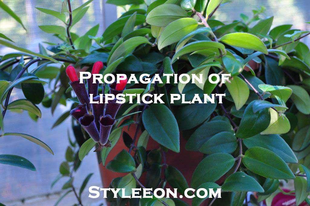 Propagation of a lipstick plant - Styleeon.com