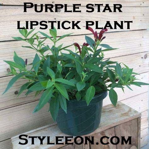 Purple star lipstick plant - Styleeon.com
