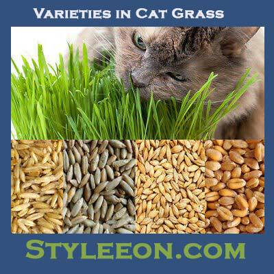 Varieties in Cat Grass - Styleeon